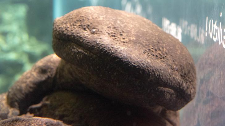 京都水族館のオオサンショウオ