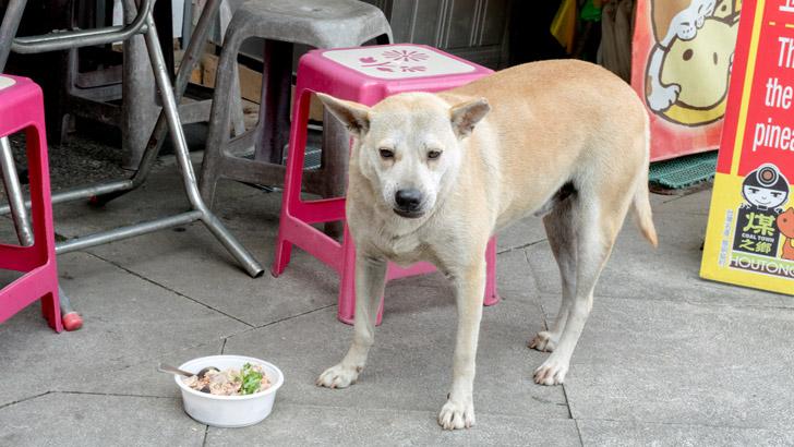 台湾の猫村の犬
